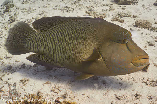 Napoleon / humphead wrasse or Napoleon wrasse / Cheilinus undulatus / Godda Abu Ramada East - Hurghada - Red Sea / Aquarius Diving Club