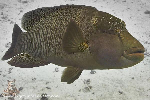 Napoleon / humphead wrasse or Napoleon wrasse / Cheilinus undulatus / Hurghada - Red Sea / Aquarius Diving Club