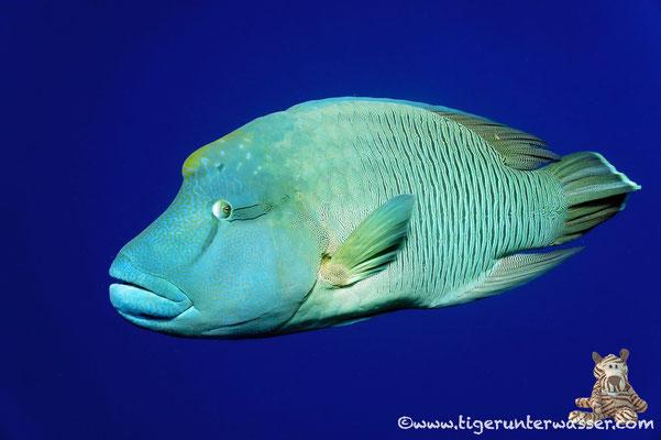 Napoleon / humphead wrasse or Napoleon wrasse / Cheilinus undulatus / Daedalus - Red Sea / Aquarius Diving Club