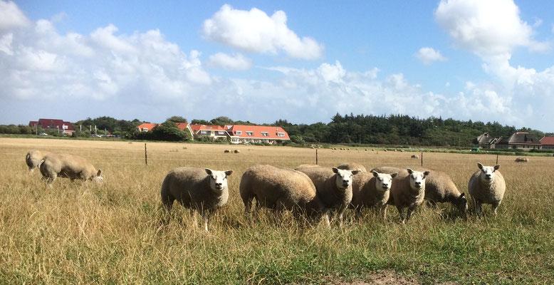 Texelaar Texel Schapenfokker Schaap Schapen NSFO TSNH E. de Haan edehaan