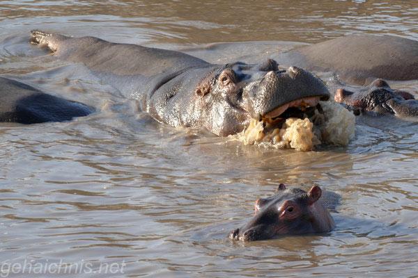 Serengeti Nilpferd Pool