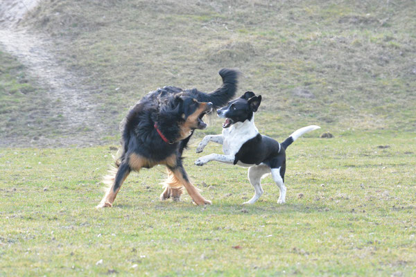 Hund, Spielende Hunde; Spielverhalten, Hamburg Mitte