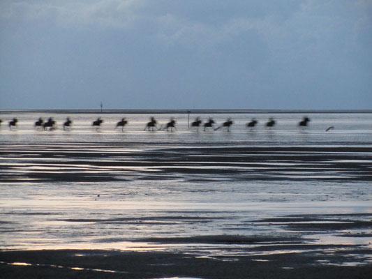 Reiter kommen zurück von der Insel Neuwerk