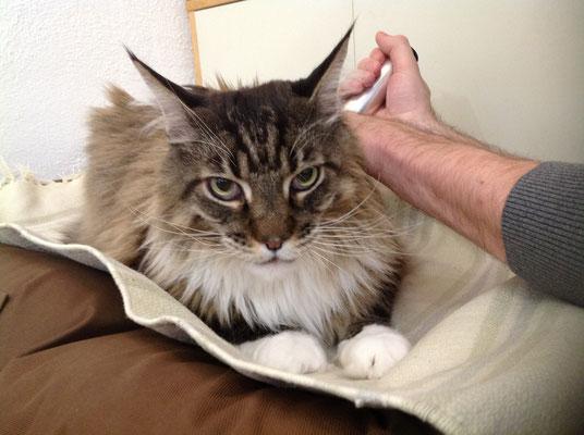 Katze Kater MainCoon Powertube-Silber Schmerzbehandlung