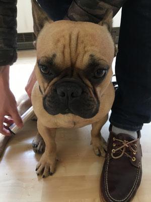 Hund französische Bulldoge Schmerztherapiemit Powertube Silber Quickzap
