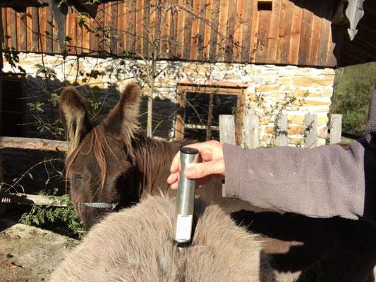 PowerTube® Behandlung eines Esels