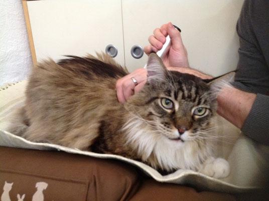 Katze Kater MainCoon Powertube-Silber Behandlung