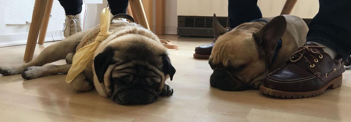 Mops Linus und französchische Bulldogge - Powernapping nach Behandlung mit Powertube