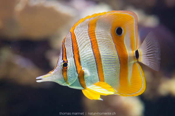 Pinzettenfisch (C)