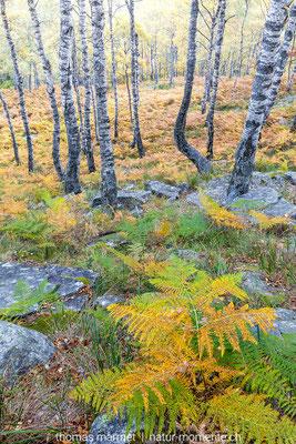 Herbstwald im Tessin