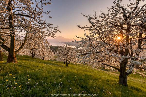 Kirschblüte Küsnacht