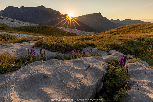 Eisenhut in den Walliser Alpen