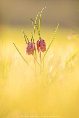 Schachblumen im letzten Licht