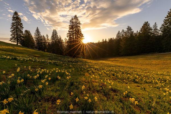 Aprilglocken Vue des Alpes