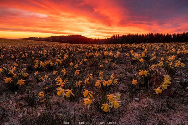 Aprilglocken bei Sonnenaufgang
