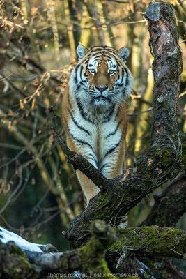 Armur-Tiger (C)
