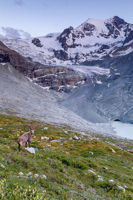 Steinbock in den Walliser Alpen