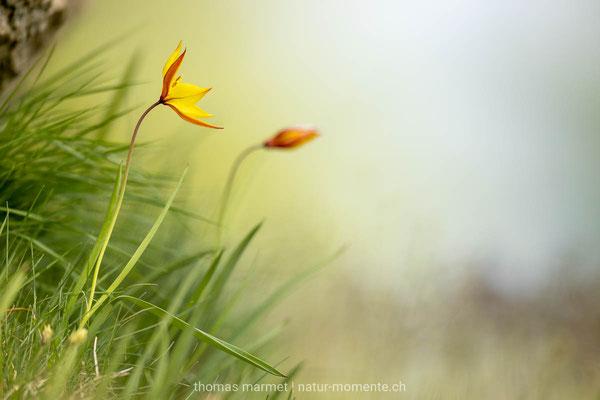 Südliche Tulpe