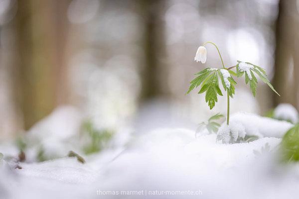 Buschwindröschen im Schnee