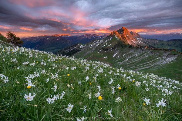 Narzissen in den Freiburger Alpen
