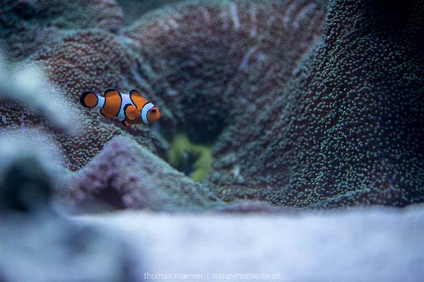 Clownfisch (C)