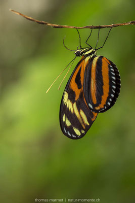 Schmetterling (C)