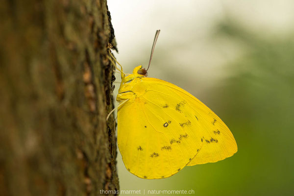 Schmetterling (C)