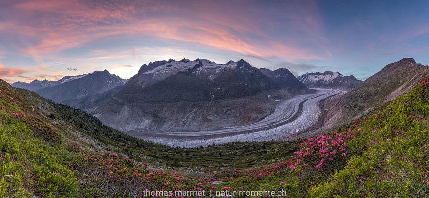 Aletschgletscher mit Alpenrosen