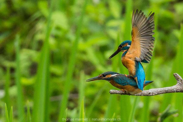 Eisvögel bei der Paarung