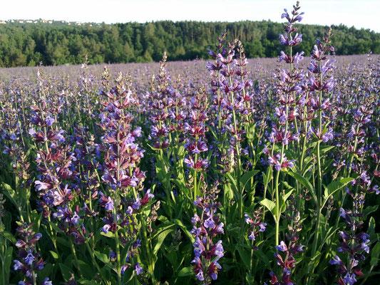 Unser Salbei (Salvia officinalis) wird bei Freital in Sachsen angebaut.