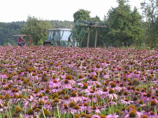 Unser Sonnenhut (Echinacea purpurea) wird bei Heilsbronn in Mittelfranken angebaut.