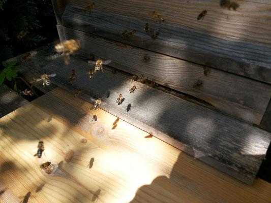 Die Bienen kommen nachhause