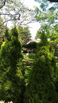 Rehe im Vorgarten