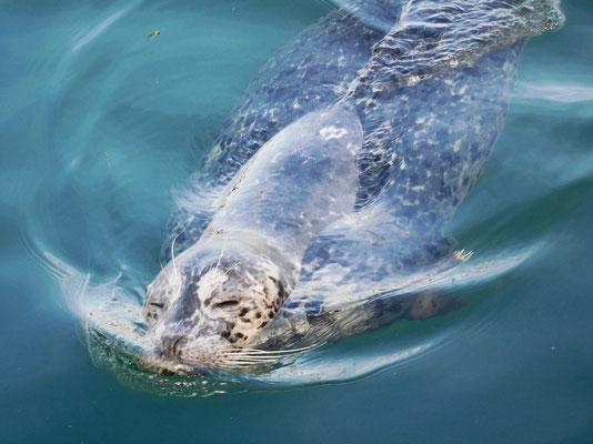 Im Hafen Victorias tummeln sich die Seehunde