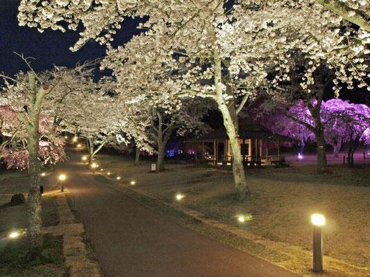 大室山さくらの里夜桜