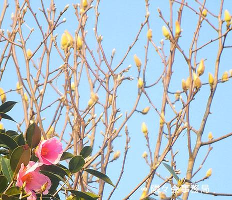 ∞ 椿と木蓮