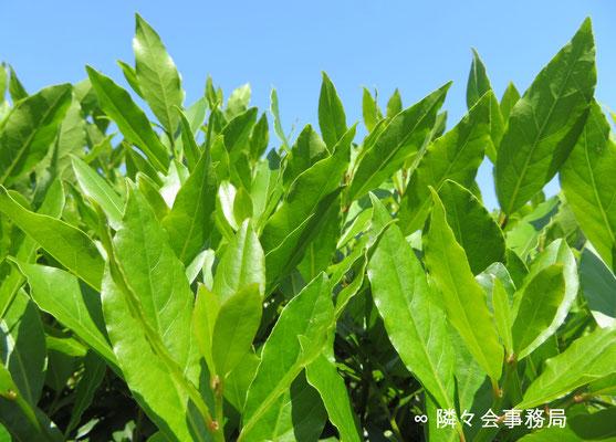 ∞  月桂樹