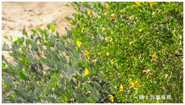 ∞ Larrea tridentata (creosote bush, greasewood) with bee and jojoba original species.