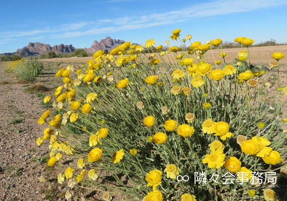 ∞ 原種ホホバとDesert Marigold Native Wildflower
