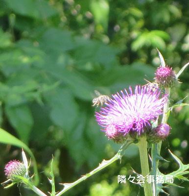 ∞ 日本ミツバチとノアザミ 日本固有の原種