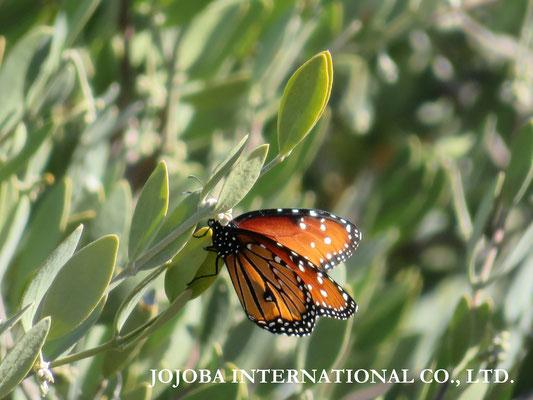 ∞ 原種ホホバと蝶 Queen (butterfly)