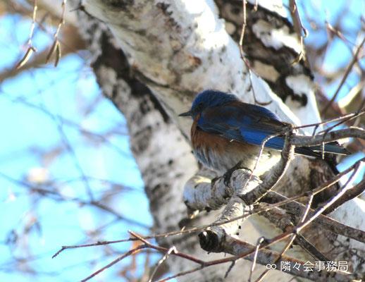 ★ 青い鳥 於: アリゾナ州セドナ