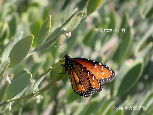 ★ 原種ホホバと蝶 Queen (butterfly)