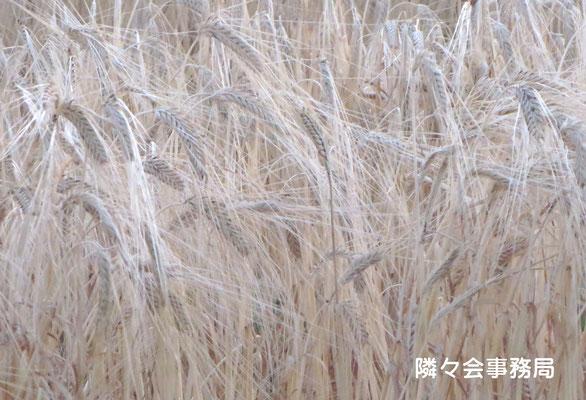 ∞ 収穫期を迎える国産大麦(ビールの原料です)