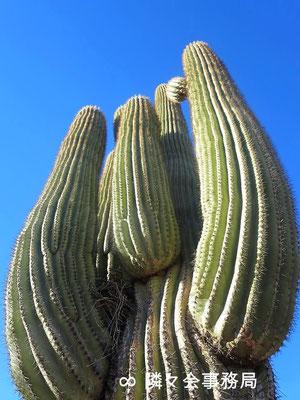 ∞  サワロカクタス(原種) 於: アリゾナ州パラダイスヴァレー