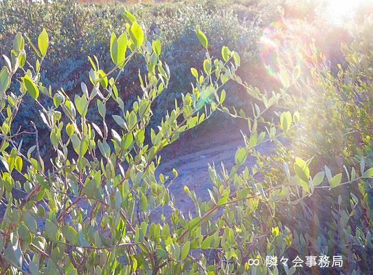 ★ 原種ホホバ(純粋種Sayuri原種ホホバ) 於: アリゾナ州ハクアハラヴァレー