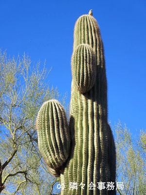 ★ 於: アリゾナ州パラダイスヴァレー サワロカクタスと小鳥♥