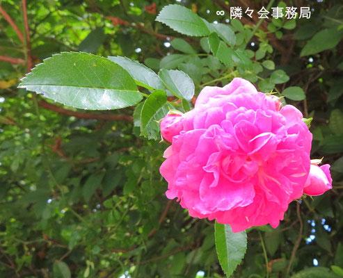 ∞ SpiritualBeauty 薔薇