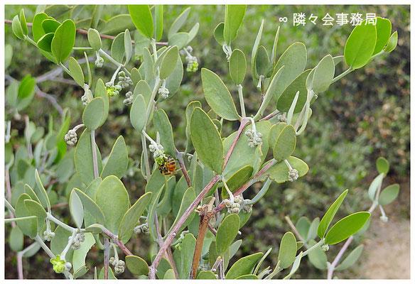 ∞ 原種ホホバ(純粋種Sayuri原種ホホバ)とミツバチ