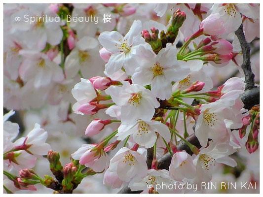 ∞ Spiritual Beauty ♥ 桜